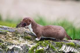 weasel archives wyoming untrapped least weasels rare in wyoming