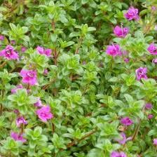 Thymus serpyllum Mountain Thyme| Mountain Thyme | Low Water ...