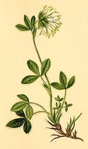 Norischer Klee – Wikipedia