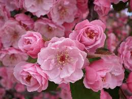 Image result for cherry blossoms in japan