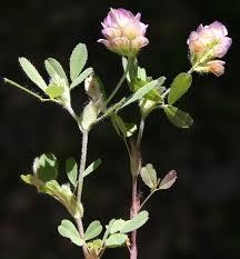 Trifolium grandiflorum Schreb. | Flora of Israel Online
