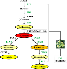Fine mapping and candidate gene analysis of the <b>white flower</b> gene ...