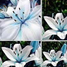 <b>50pcs</b> Lots Oriental Lily Blue Stargazer <b>Scented Flower</b> Bulbs Seeds ...