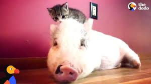 <b>Pig</b> Raised By <b>Cats</b> Thinks He's One Of Them Now - DRAGONLORD ...