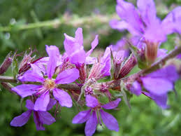 Lythrum salicaria - Wikipedia