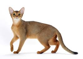 8 <b>Cat</b> Breeds That Resemble Tigers, Leopards and Other Wild <b>Cats</b> ...