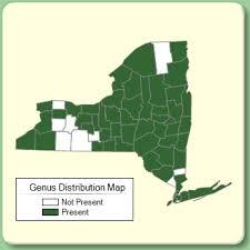 Rorippa - Genus Page - NYFA: New York Flora Atlas - NYFA: New ...