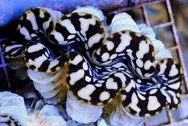 Image result for derasa clam farms