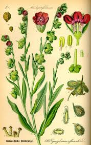 Cynoglossum - Wikipedia