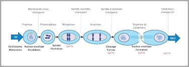 figure   sept functional role in mitosis  diagram showing the    download