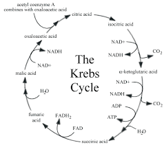 images about citric acid cycle on pinterest   citric acid        images about citric acid cycle on pinterest   citric acid  acetyl coa and biology