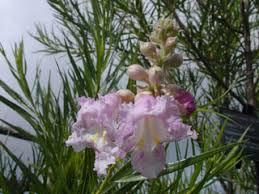 Chilopsis linearis (Desert <b>willow</b>) | Native <b>Plants</b> of North America
