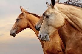 Bildergebnis für bilder pferde