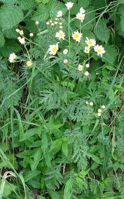 Tanacetum corymbosum - Wikipedia, la enciclopedia libre
