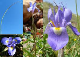 Moraea sisyrinchium (L.) Ker Gawl. - Portale sulla flora del Parco ...