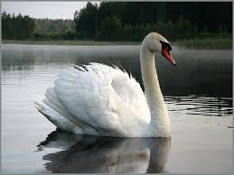 """""""И лебедь, как прежде, плывет сквозь века"""". Обсуждение на ..."""