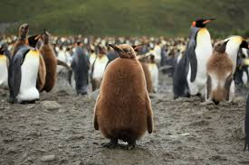 king penguin pictures and facts blue whale picture courtesy noaa