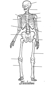 blank diagram of the skeletal system   aof comgallery of blank diagram of the skeletal system