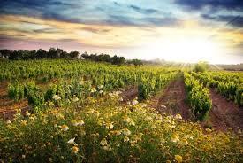 Resultado de imagen de campos de viñedos de la provenza al atardecer