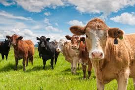 pre veterinary internships for aspiring vets find internships in the beef industry