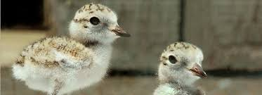 Image result for Western Snowy plovers