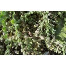 Genere Kickxia - Flora Italiana