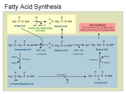 downloaddenovo synthesis fatty acids ppt free   lartaofkgvdenovo synthesis fatty acids ppt to pdf