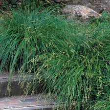 Berkeley sedge - FineGardening