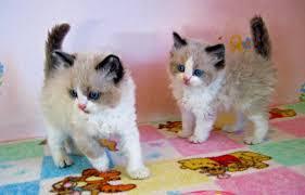 kittensavail