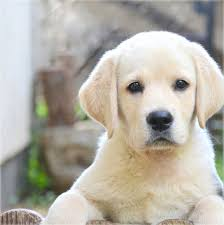 Image result for labrador puppy show champion