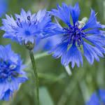 Faire un semis de bleuet - Rustica