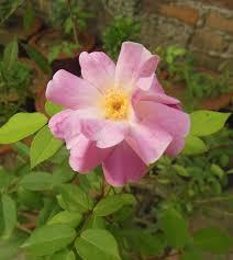 Rosa rubiginosa - Wikipedia