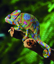 Image result for Chameleons are famed for their ability to change color to blend in with their surroundings. This helps them to evade predators.