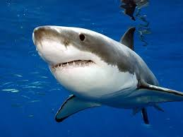 Image result for great white shark
