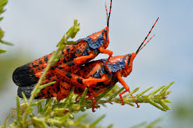 Image result for grasshoppers
