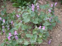 Lamium garganicum subsp. garganicum in the Dead Nettles ...