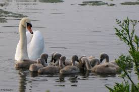 Image result for swan with 10 cygnets