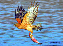 Image result for hawk catching fish