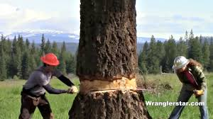 Felling <b>Giant Tree</b> With Crosscut Saw - YouTube
