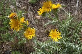 Scolymus grandiflorus - Wikimedia Commons