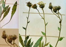 Hieracium glabratum Hoppe ex Willd. - Portale alla flora del Parco ...