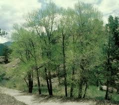 Narrowleaf cottonwood