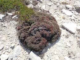 Limonium obtusifolium (Rouy) Erben, 1978 - Statice à feuilles ...