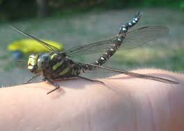 Image result for Alaska dragonflies