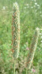 Phleum pratense Calflora