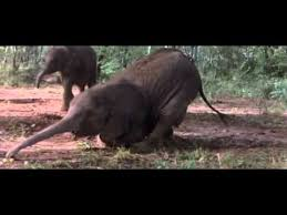 African <b>Animals</b> Getting <b>Drunk</b> From Ripe Marula Fruit - YouTube