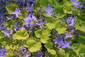 Campanula garganica 'Dickson's Gold' | California Flora Nursery