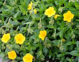 Helianthemum oelandicum - Wikipedia