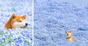 This Shiba Inu Is The <b>Cutest Flower</b> Boi In Japan And His 19 Pics ...