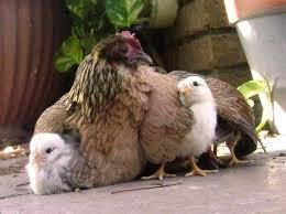 Resultado de imagen de imagenes de gallinas cluecas
